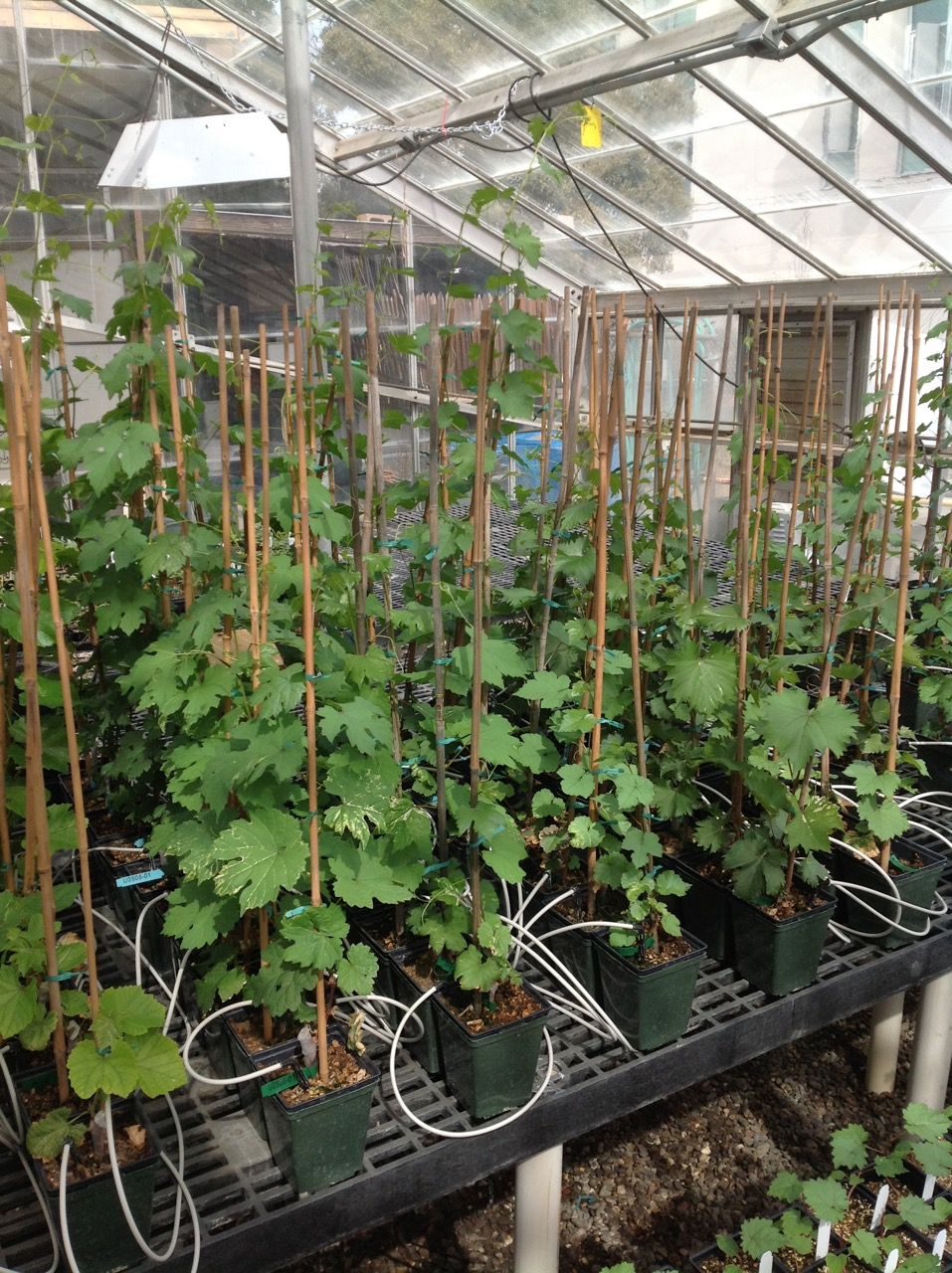 To Fund And Provide Direction For Grape Rootstock Research Enhance Support The California Viticulture Nursery Industry